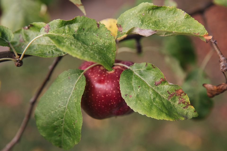 apple tree with unhealthy leaves