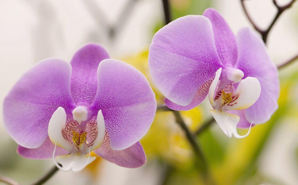 Phalaenopsis cultivar, Moth orchid