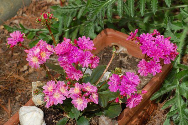 Flowerpot of Lewisia cotyledon Rainbow mix with purple flowers.