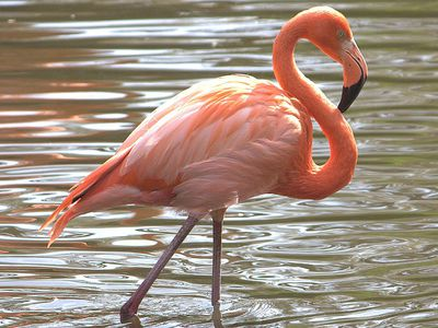 American Flamingo Pink And Proud Of It