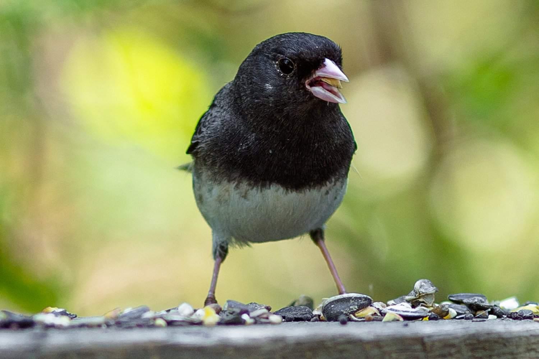 Junco at a Bird Feeder
