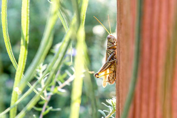 Grasshopper climbing on corner of brown surface near grass blades
