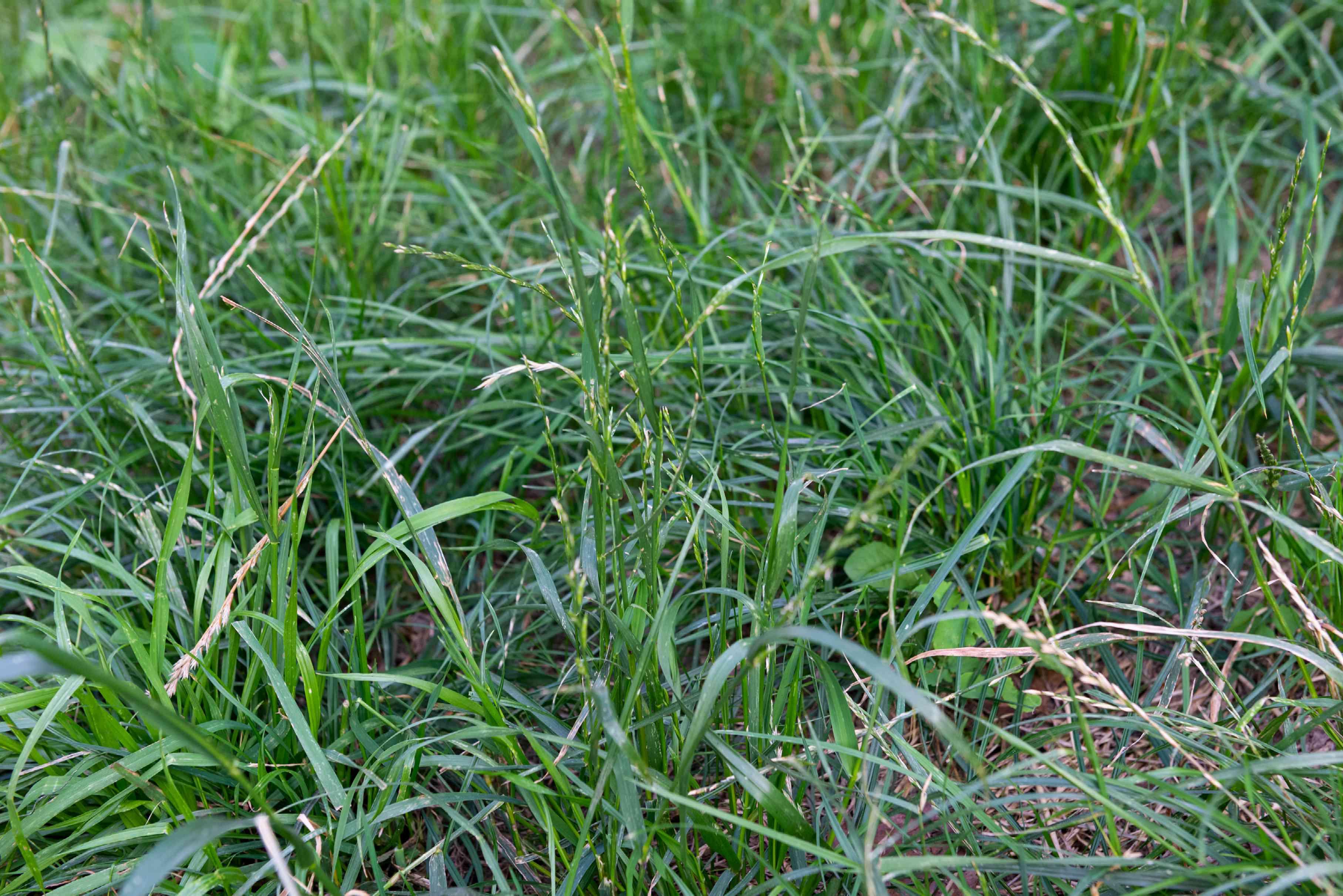 Perennial ryegrass with short green and tan grass blades