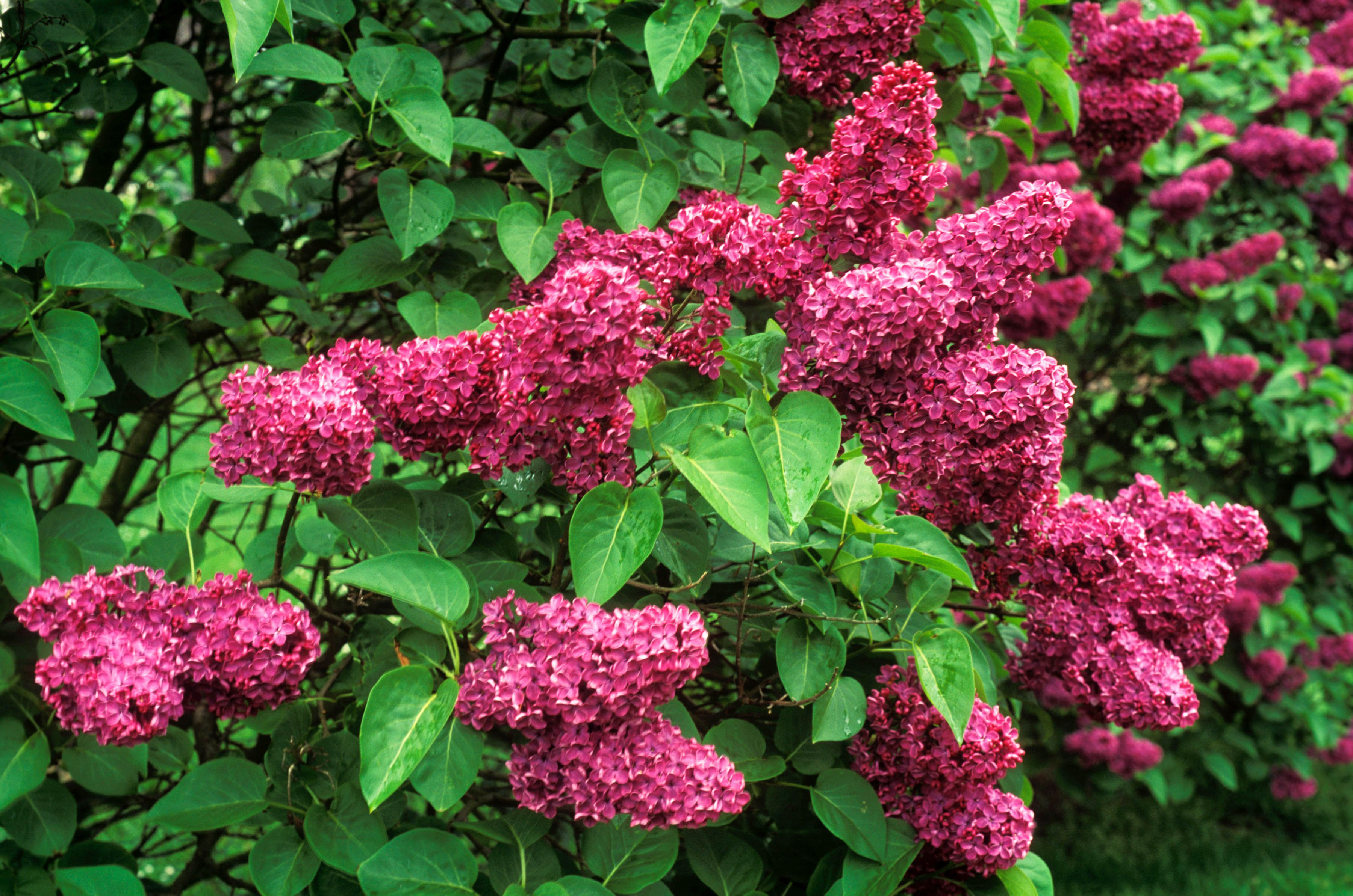 The Andeken an Louis Spaeth lilac with purple-red blooms