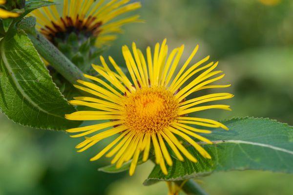 elecampane flower