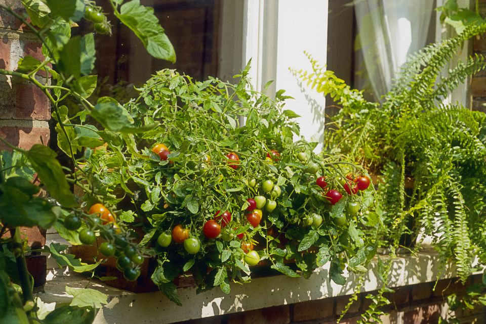 Windowsill Tomato Plant