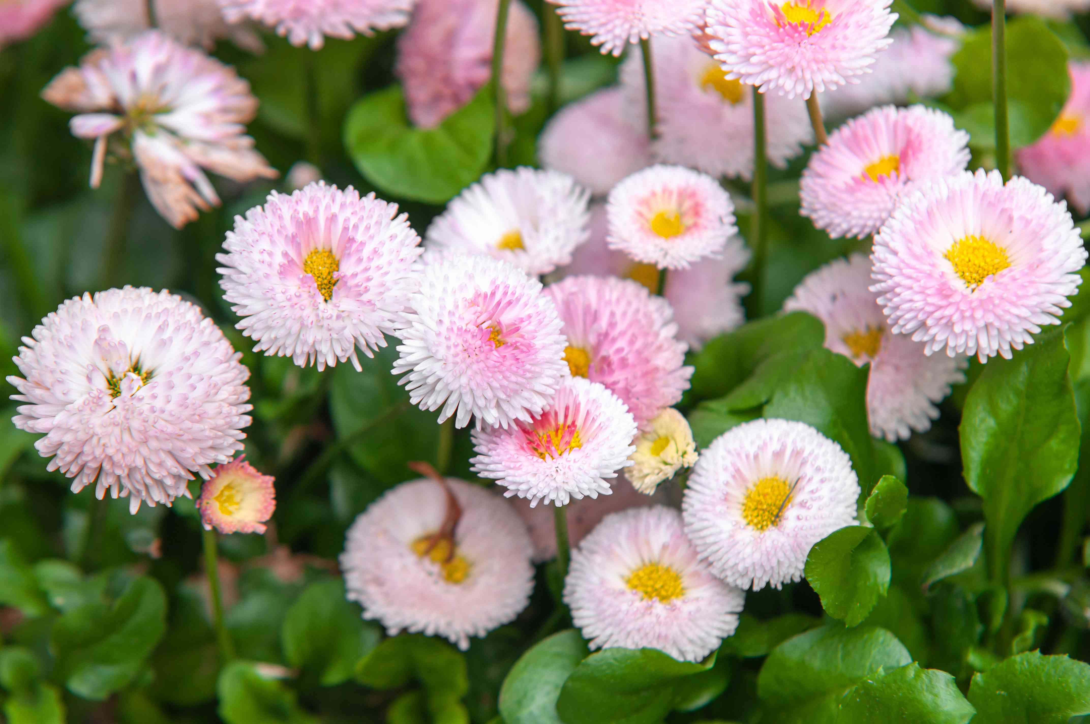 English daisies with pink centered flowers