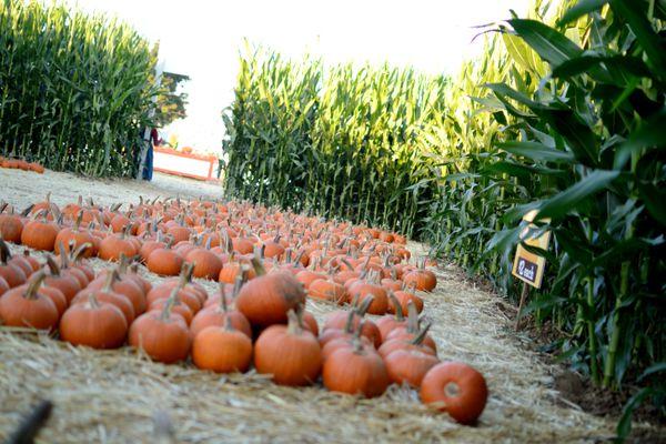 A pumpkin patch inside of a corn maze
