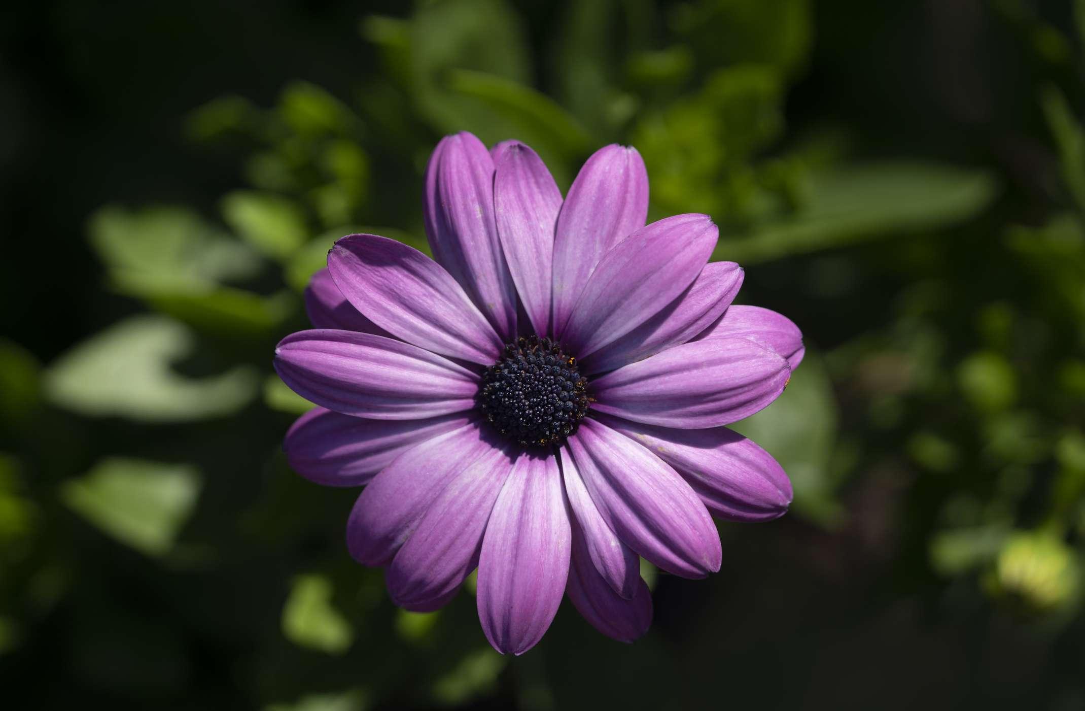 purple shasta daisy