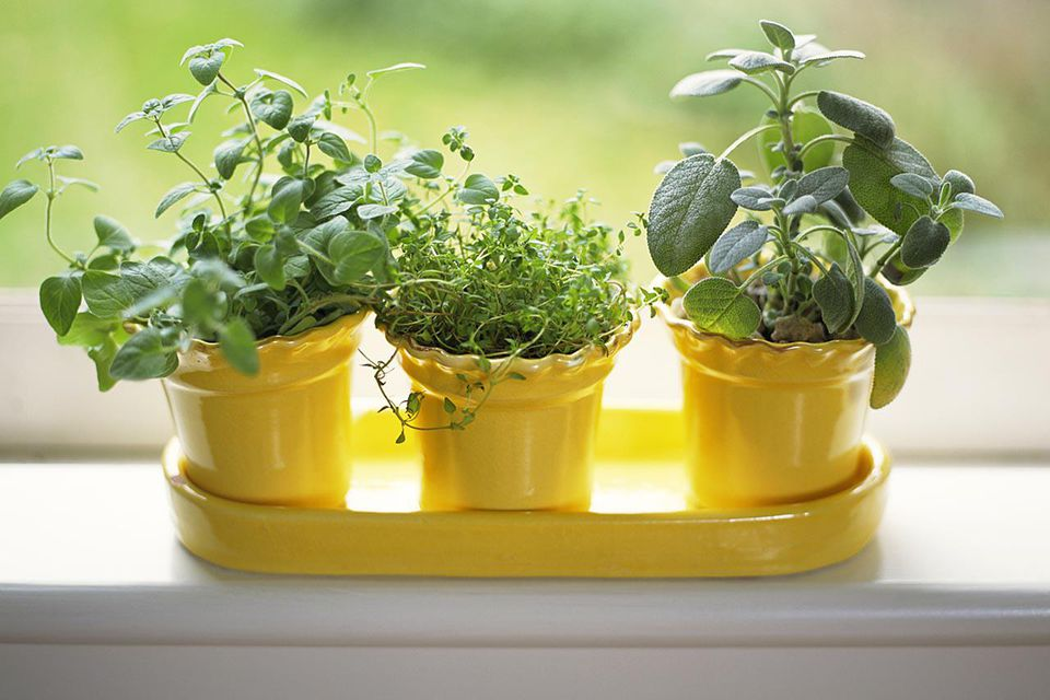 Pots of sage , thyme and oregano on windowsiill
