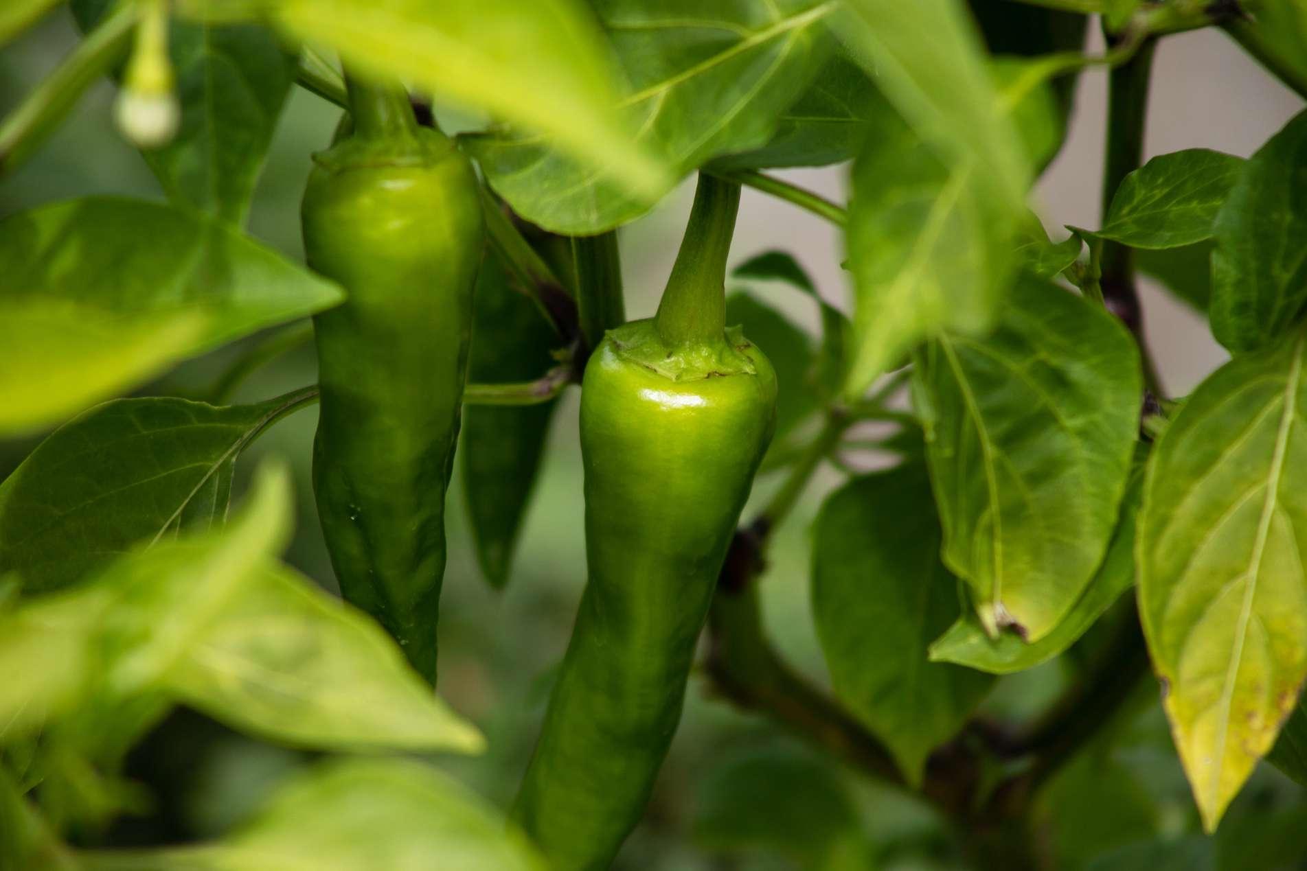 green jalapeño pepper