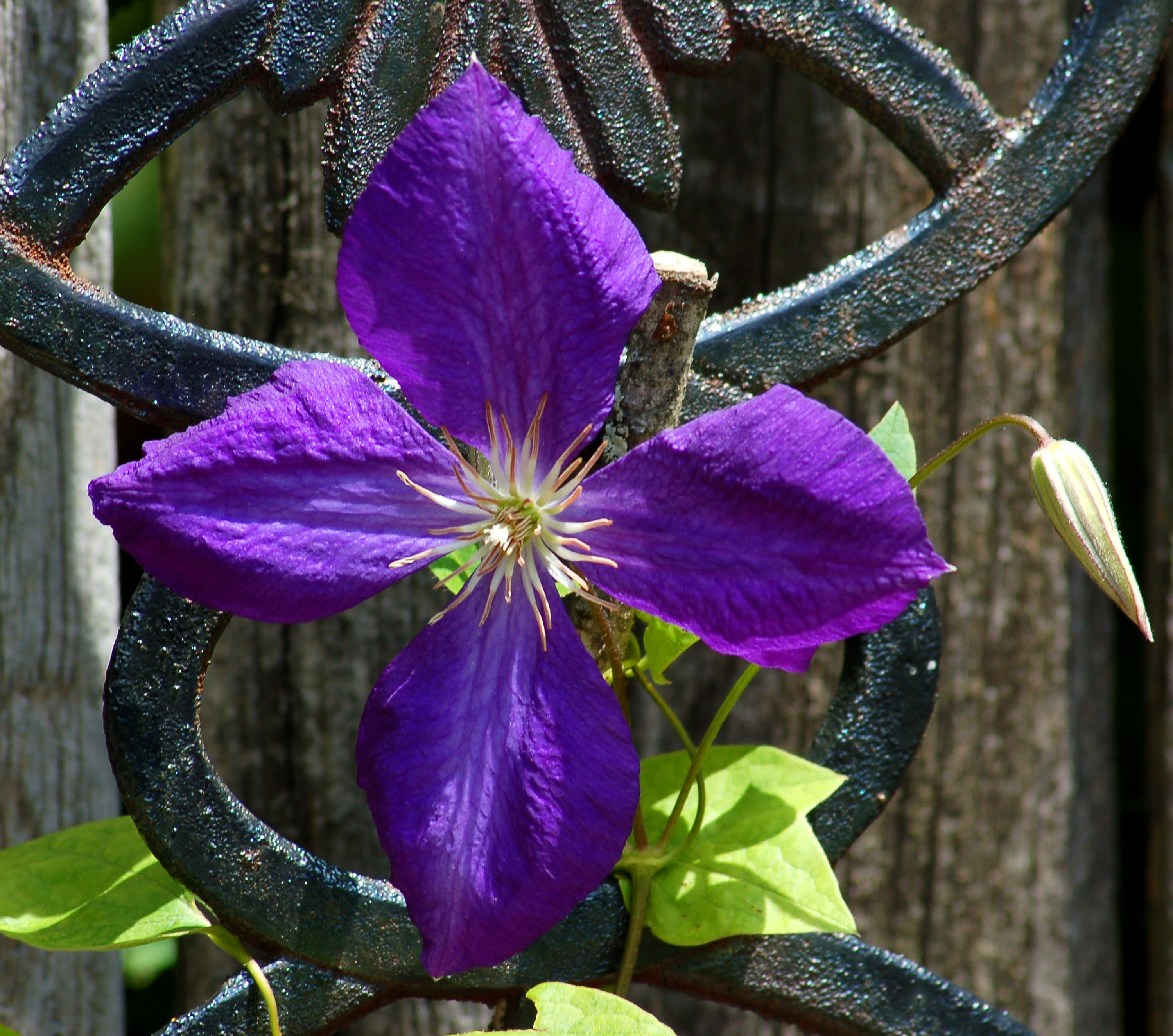 Jackmans Clematis Vines Growing And Pruning Tips