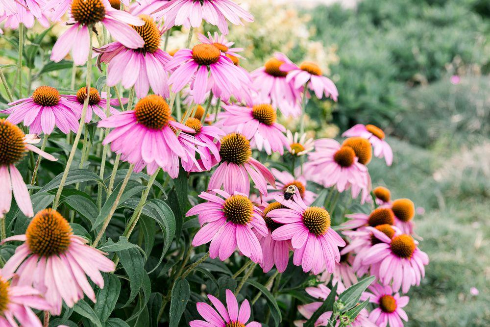 Summer Flowers-Coneflower