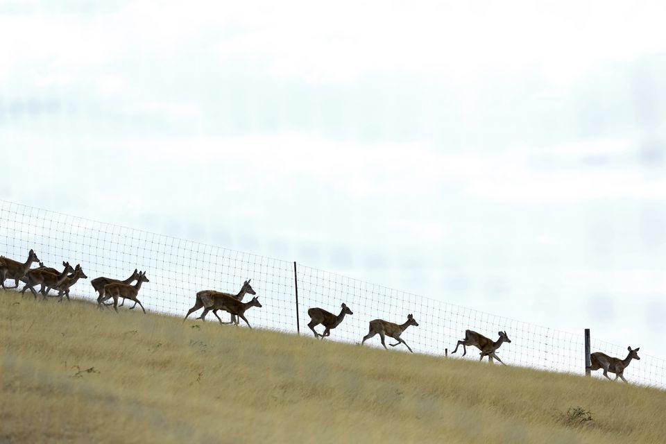 Ciervo cercado con una manada de ciervos corriendo.