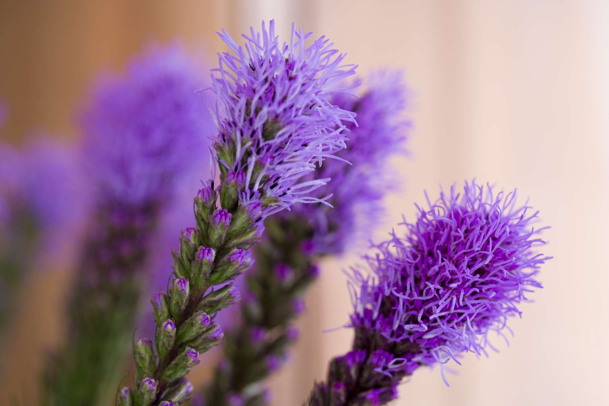 Close up of the flowerheads of the Liatris