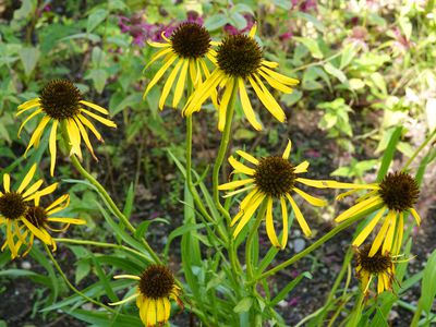 Yellow coneflowers with dark brown center cones and thin yellow petals radiating