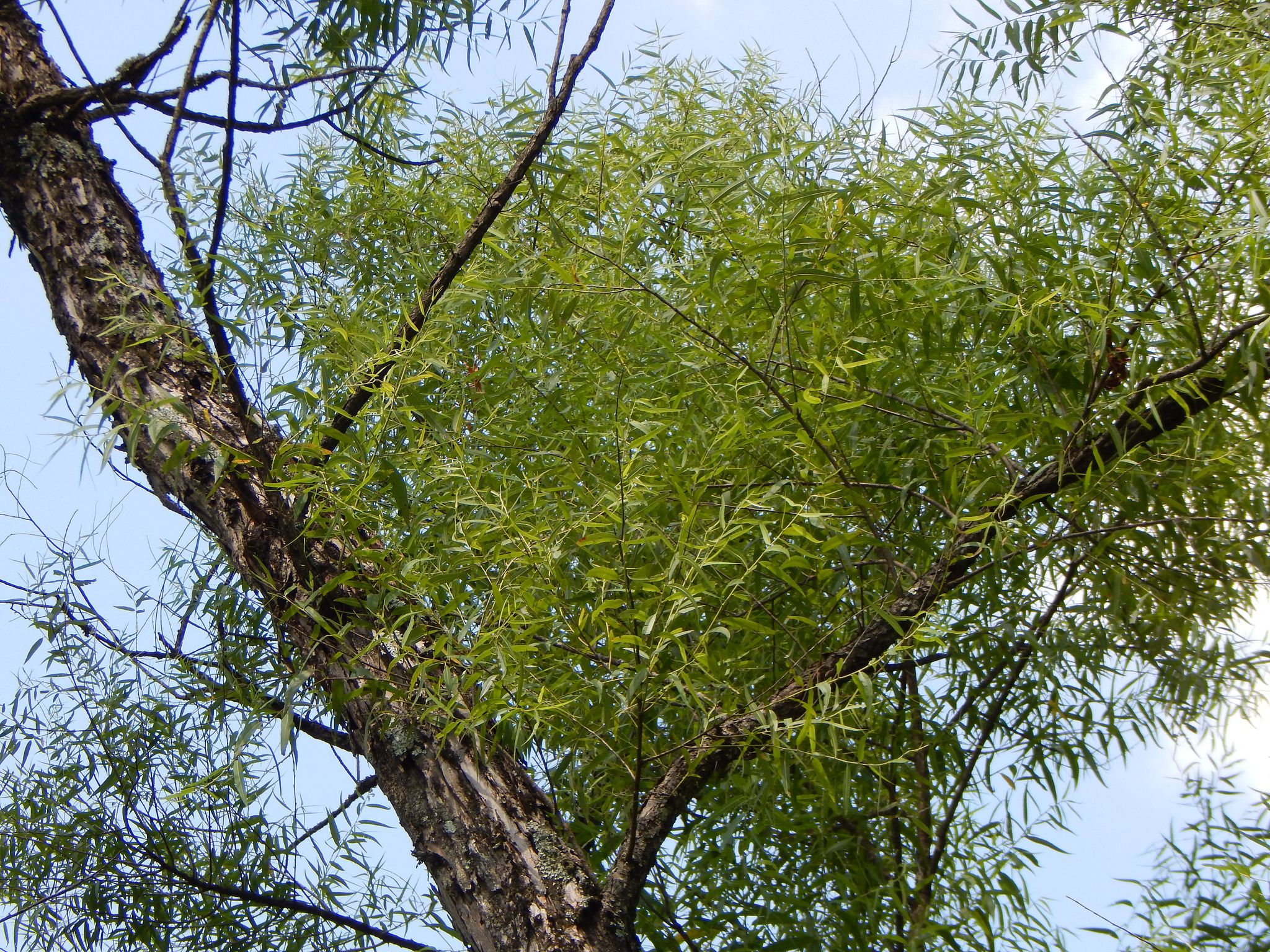 Black willow tree branches.
