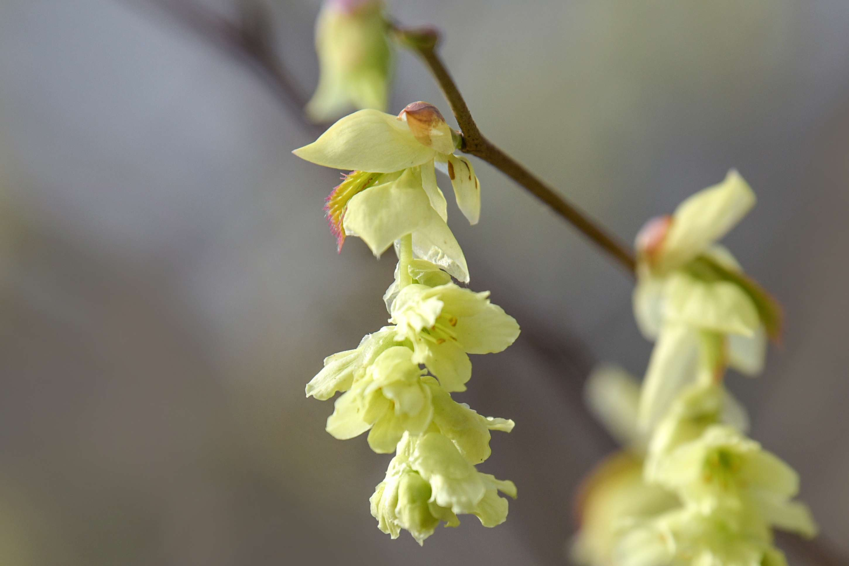 Buttercup winter hazel flowers with pale yellow petals hanging off branches closeup