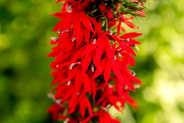 Cardinal flower plant with bright red petals hanging closeup