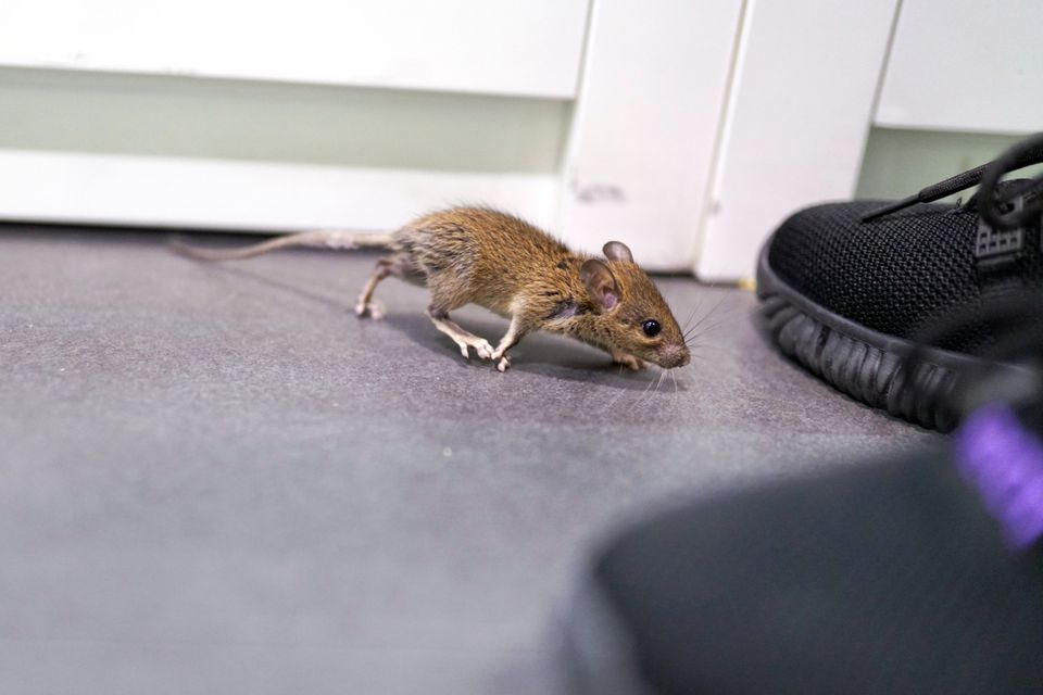 A cornered mouse explores its surroundings