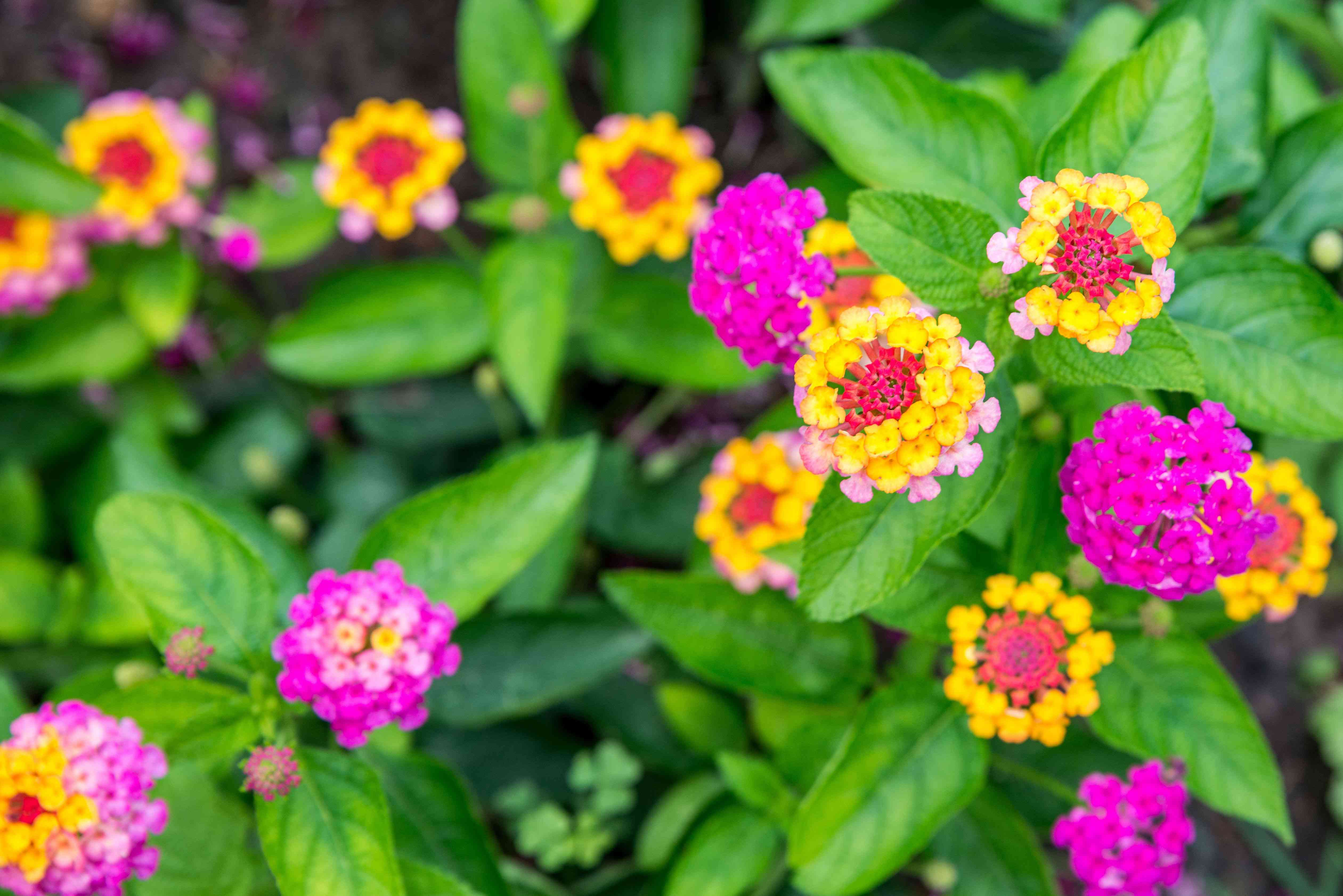 Lantana flowers with small bright pink, yellow and red petals clustered in garden closeup