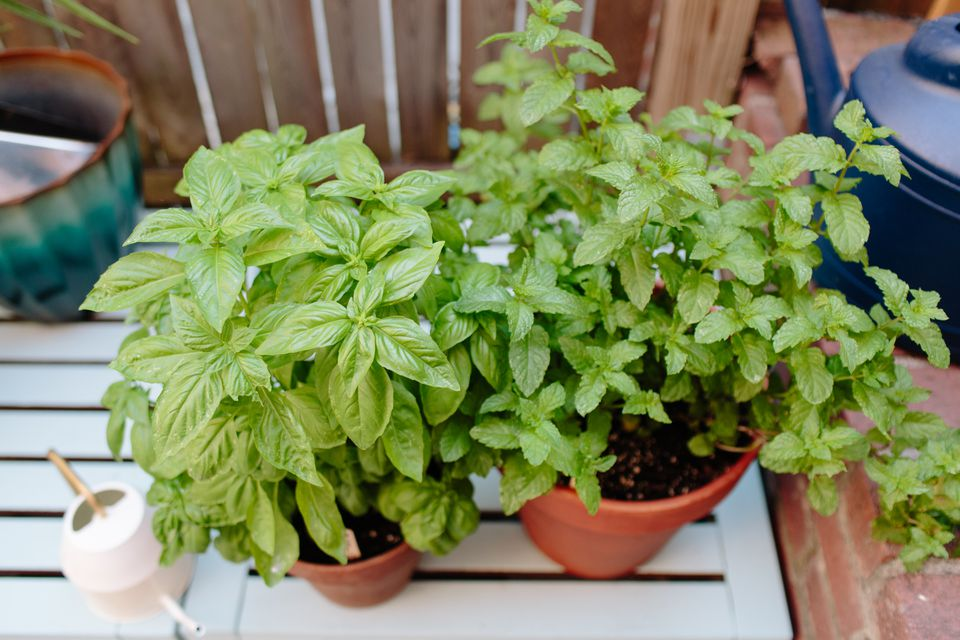 basil and mint growing in pots