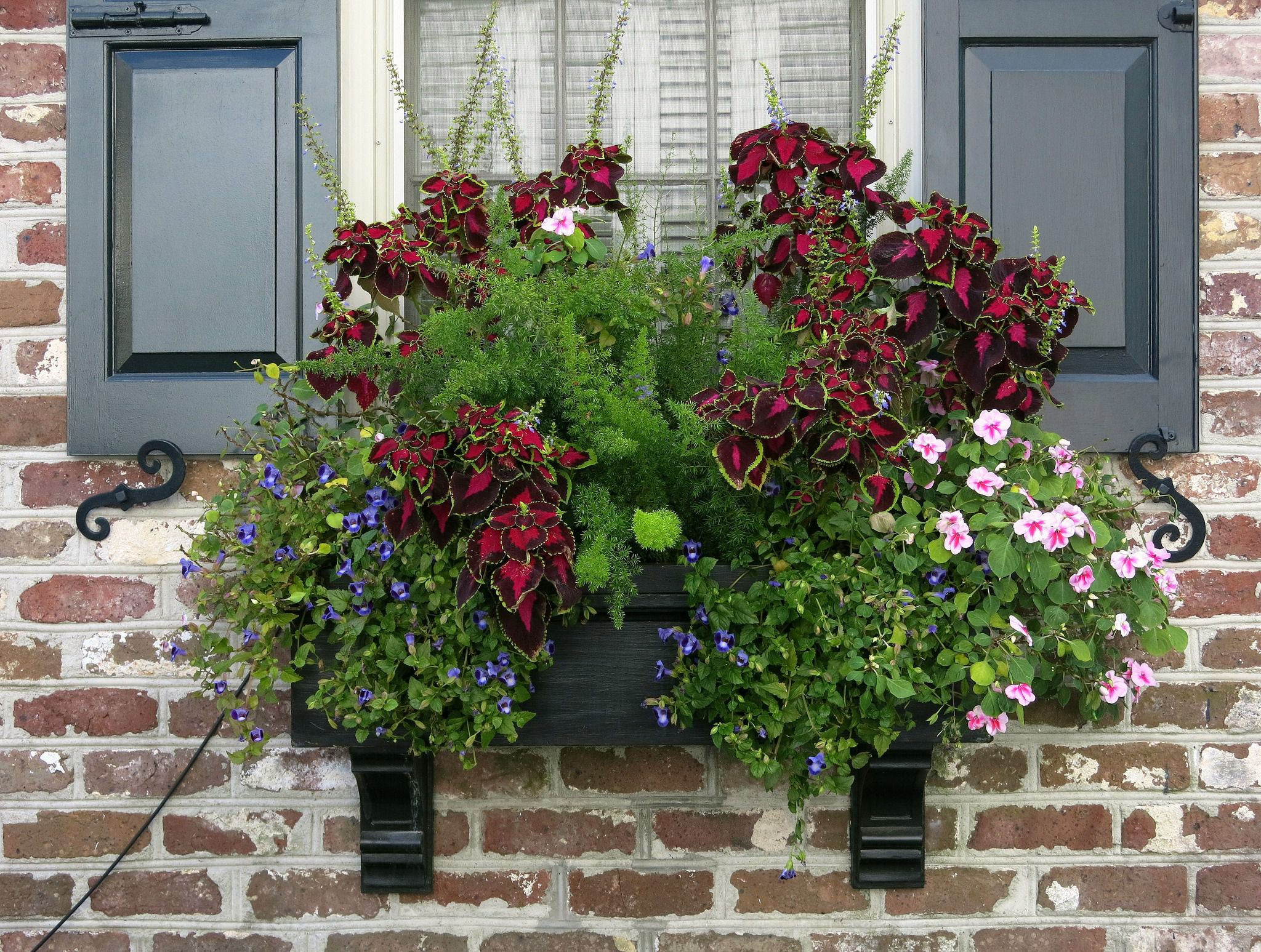 spring window box with rich red coleus