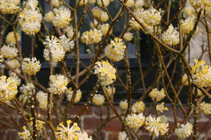 A paperbush plant adds fragrance to any garden.