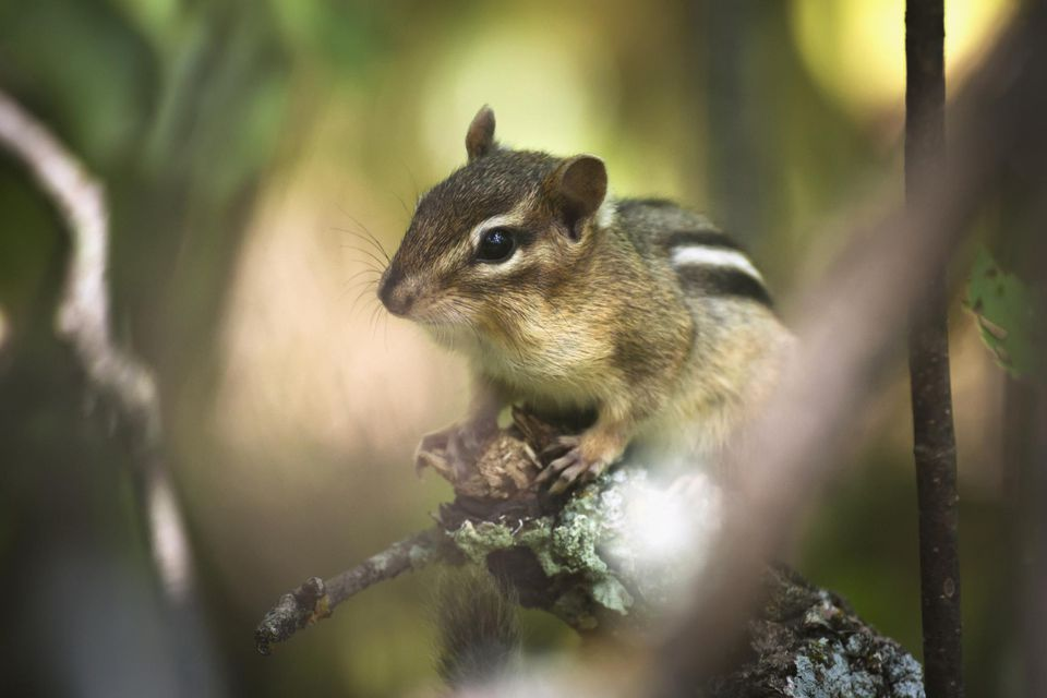 A wary chipmunk perches on the end of a stick