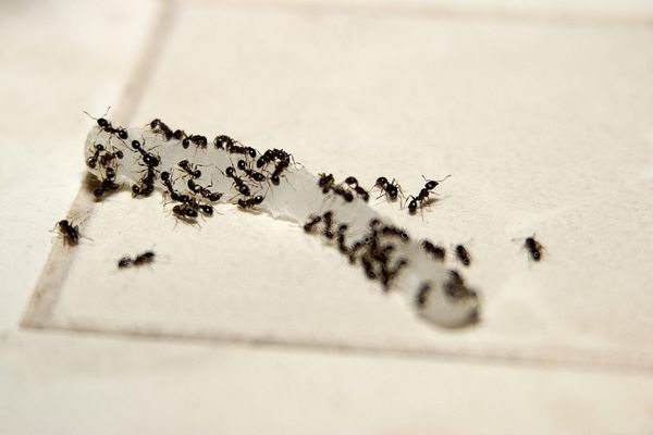 Ants making a trail to food