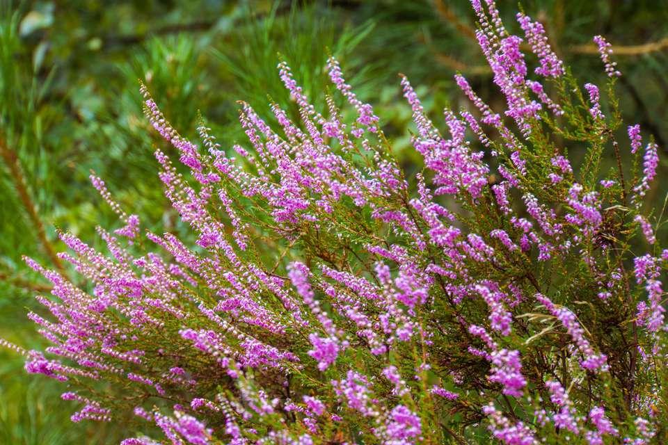 French Lavender Plant