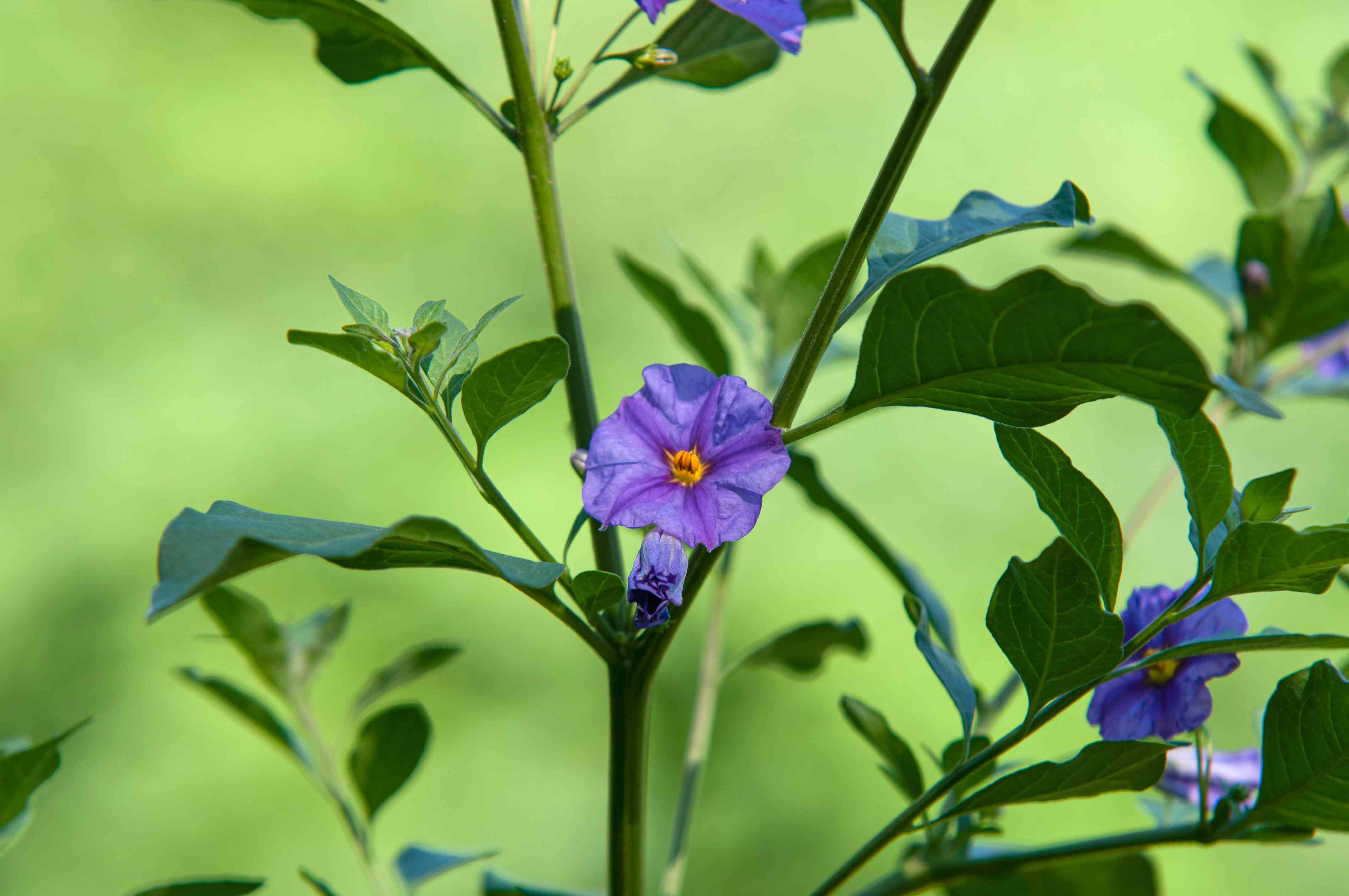 Blue potato bush plant with purple-blue flower in middle of stem