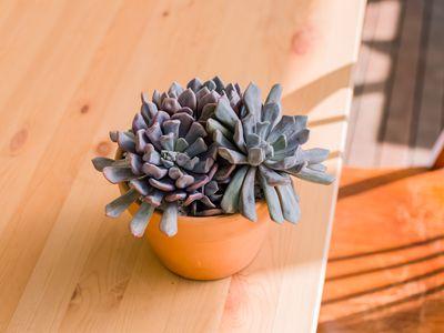 topsy debbie succulent