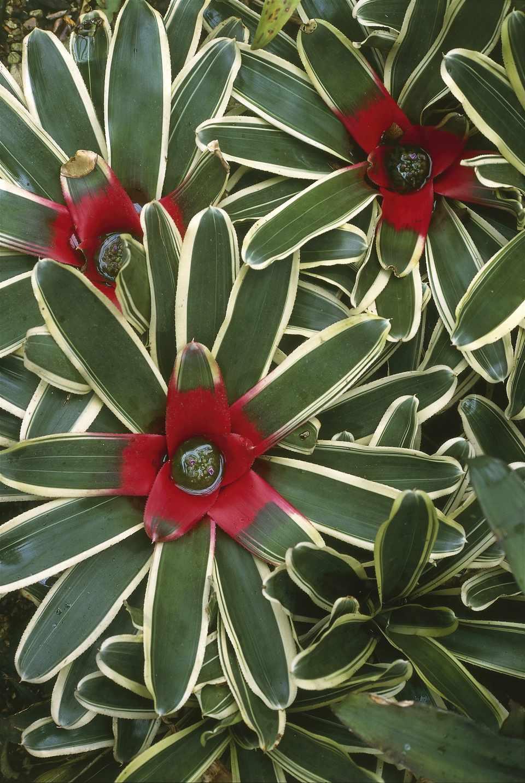 Neoregelia (Neoregelia carolinae), close-up