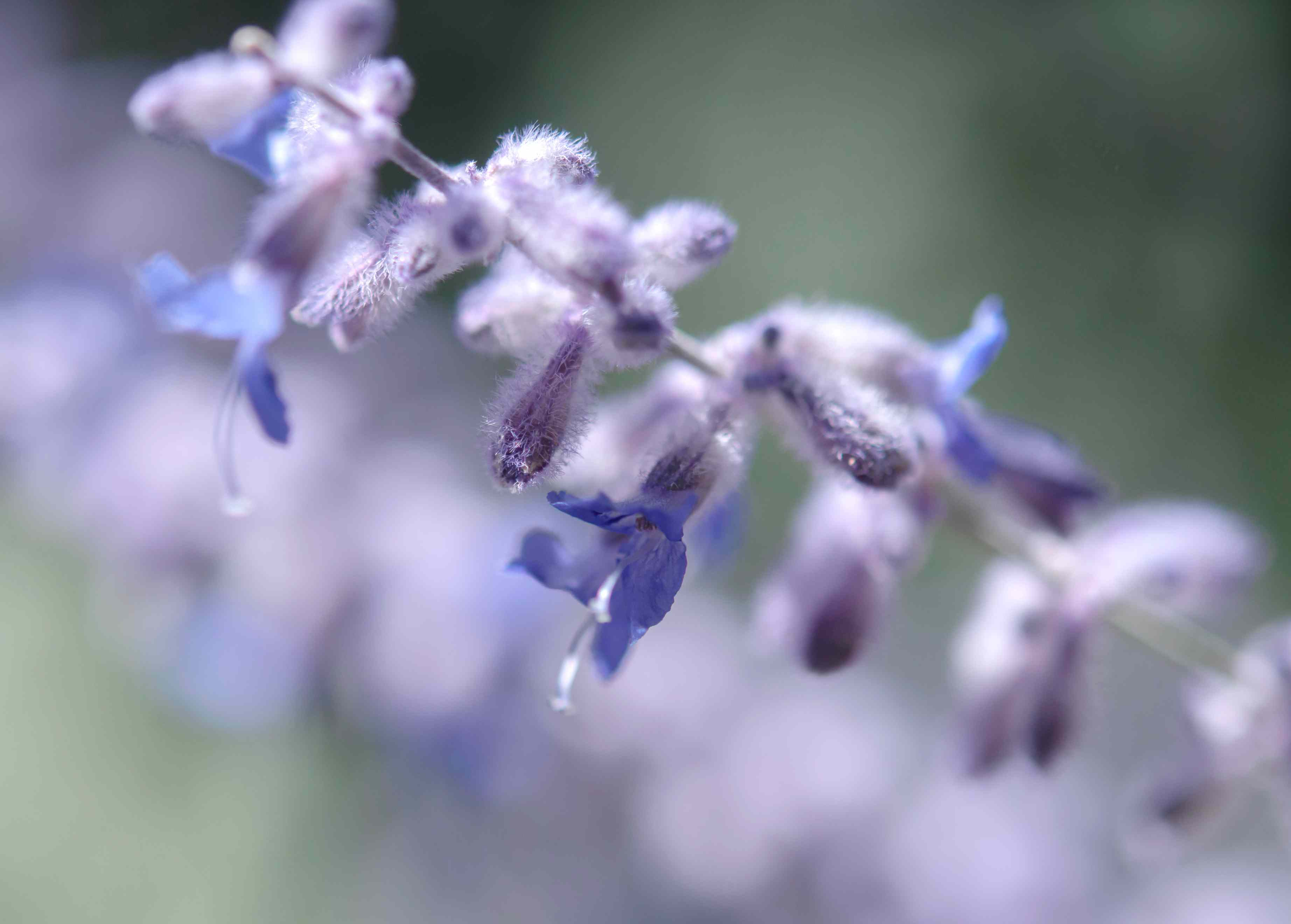 Russian sage purple flowers closeup