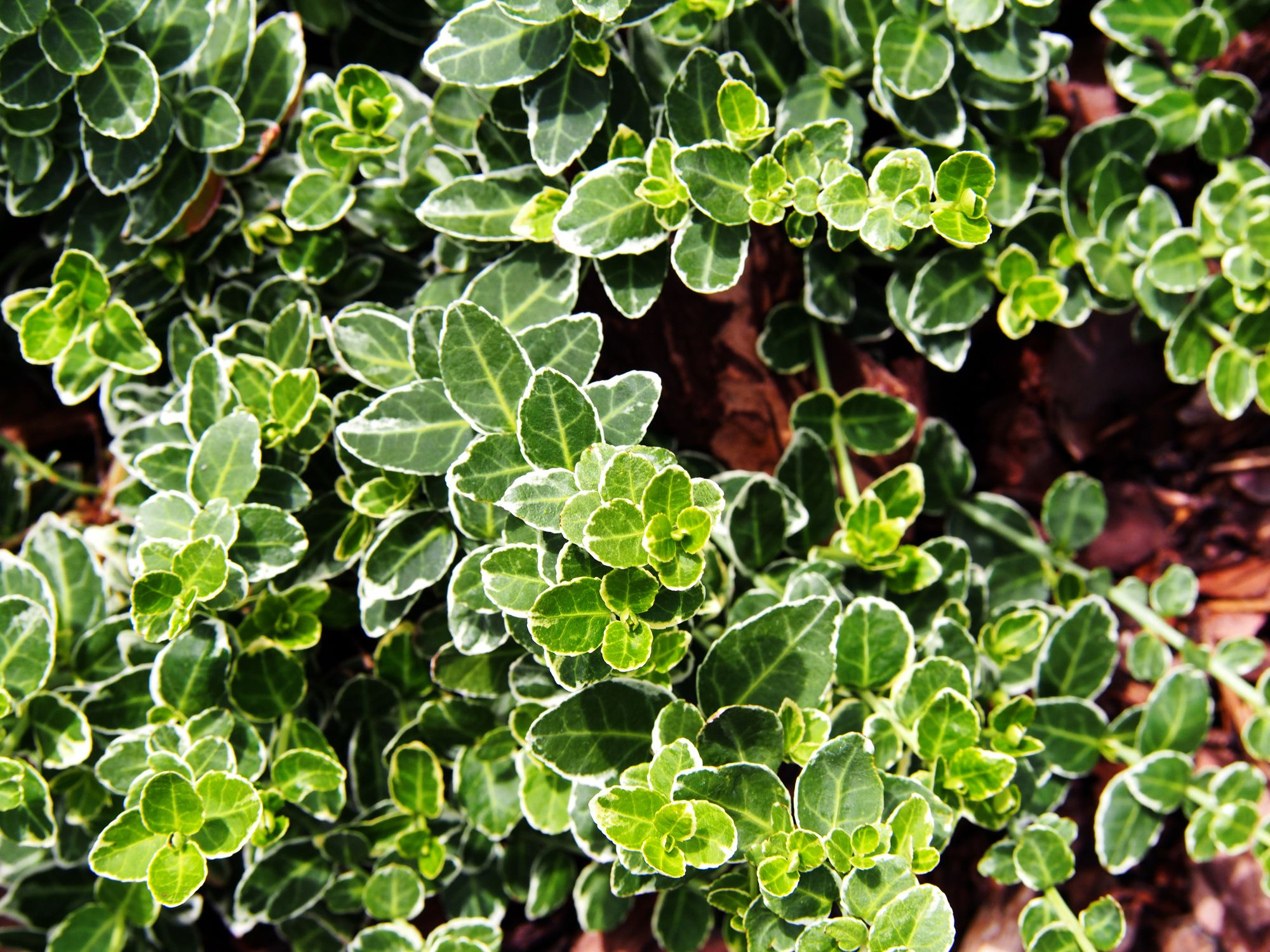 8 Best Small Evergreen Shrubs