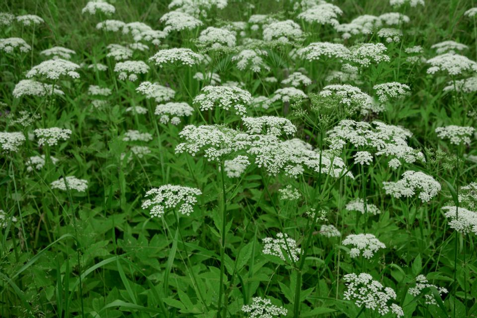 Bishop's weed plant with small white flower umbels over leafy foliage