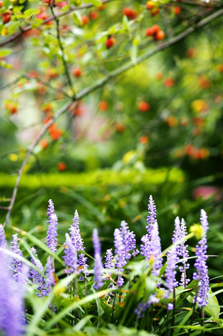 How To Grow Lilyturf As A Successful Houseplant