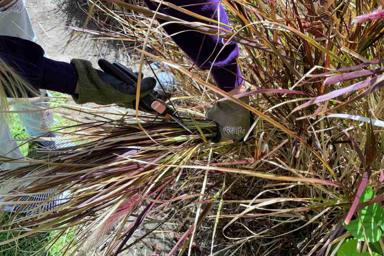 cutting ornamental grasses