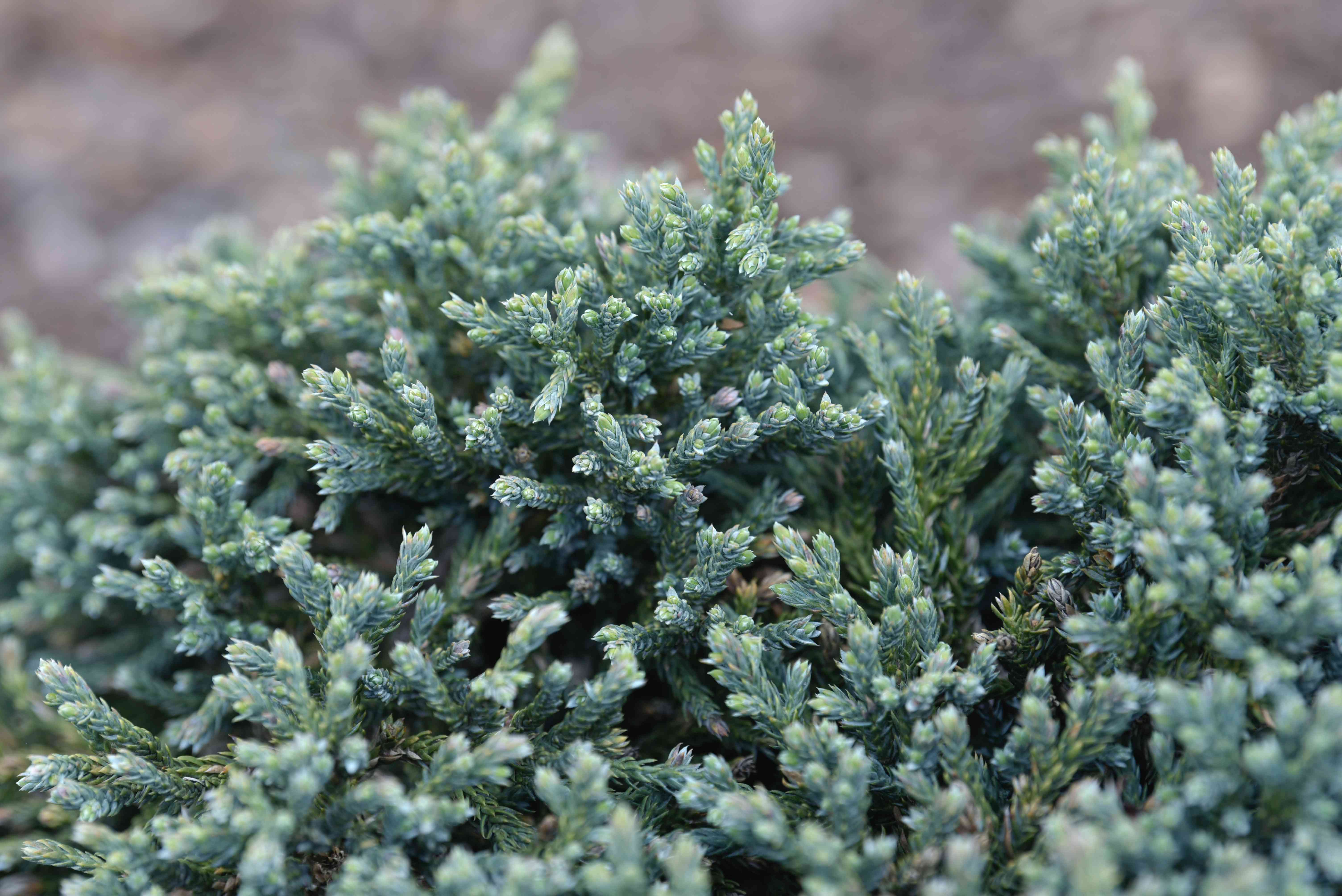 Blue star juniper evergreen shrub branches with silvery-blue needles clustered together closeup
