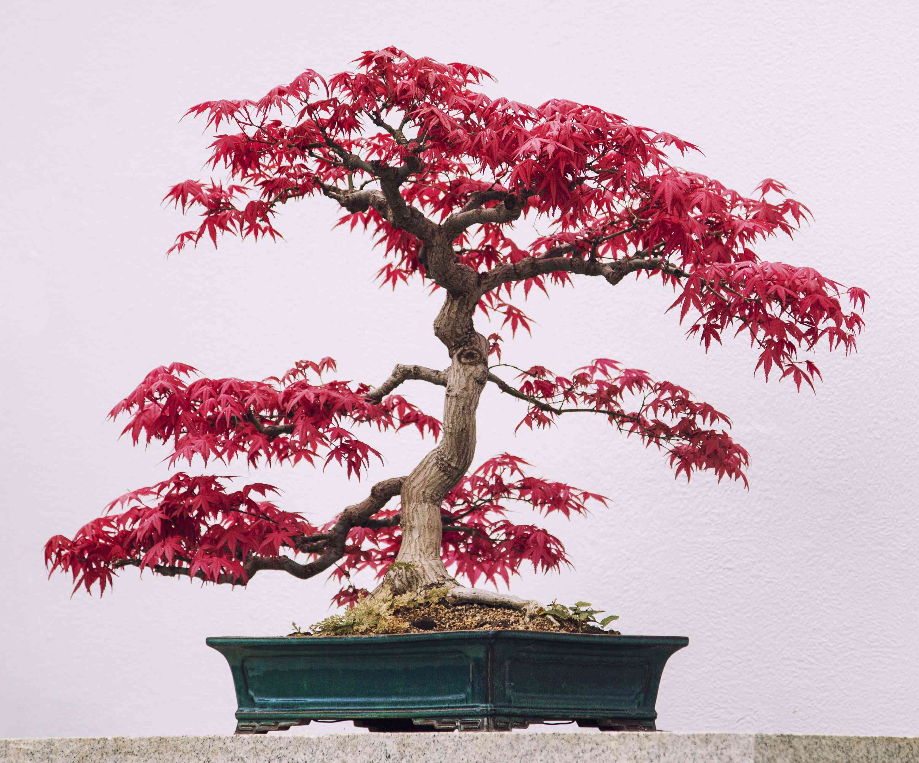 The bright red foliage of the japanese maple bonsai tree contrasts against its tourquoise pot and pale pink background.