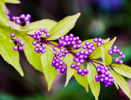 What Is The Difference Between Shrubs And Bushes