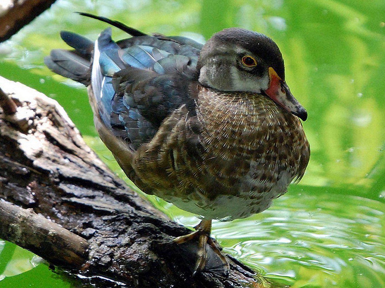 Understanding Bird Plumages