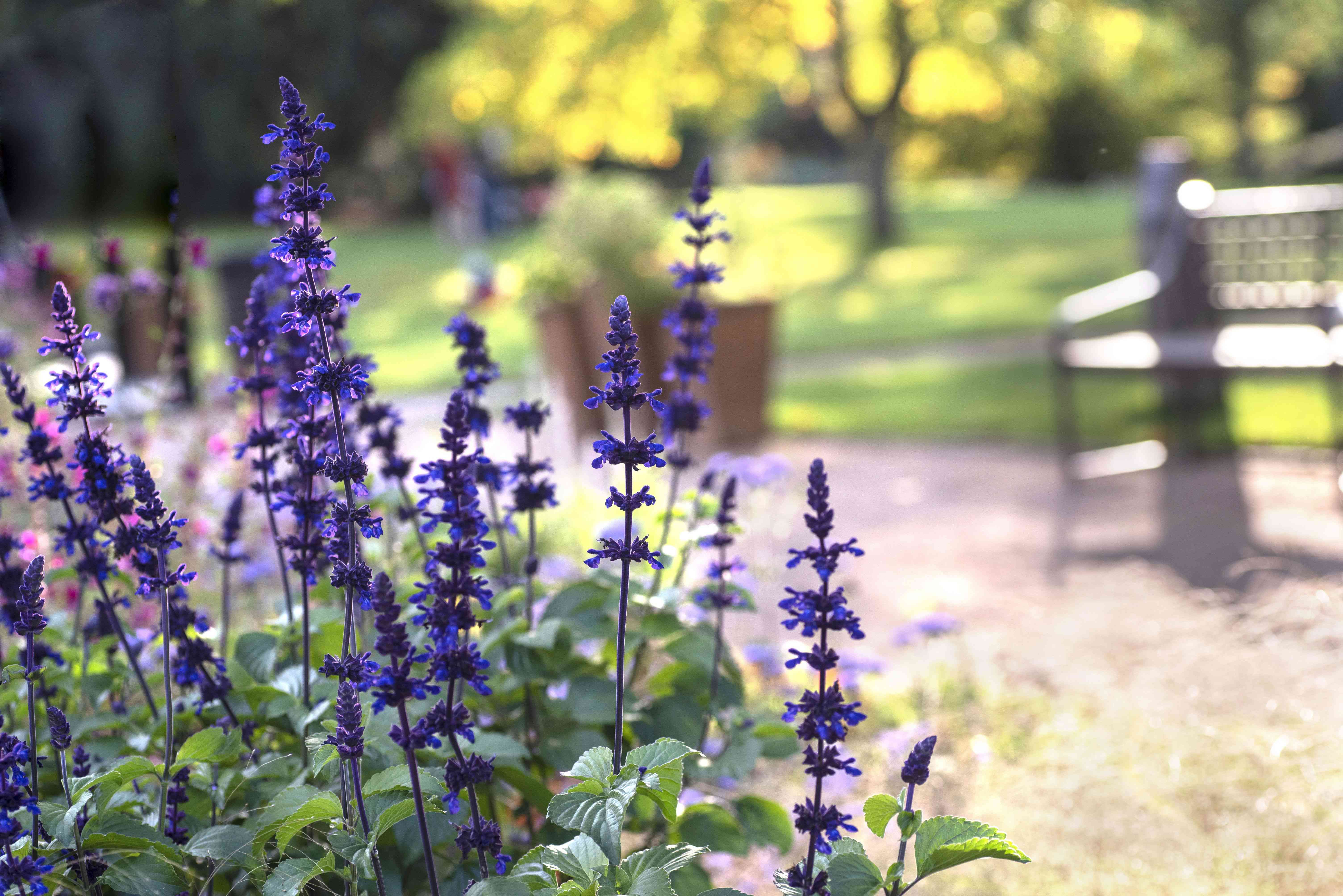Victoria blue salvia with purple flowers and leaves next to park pathway and bench