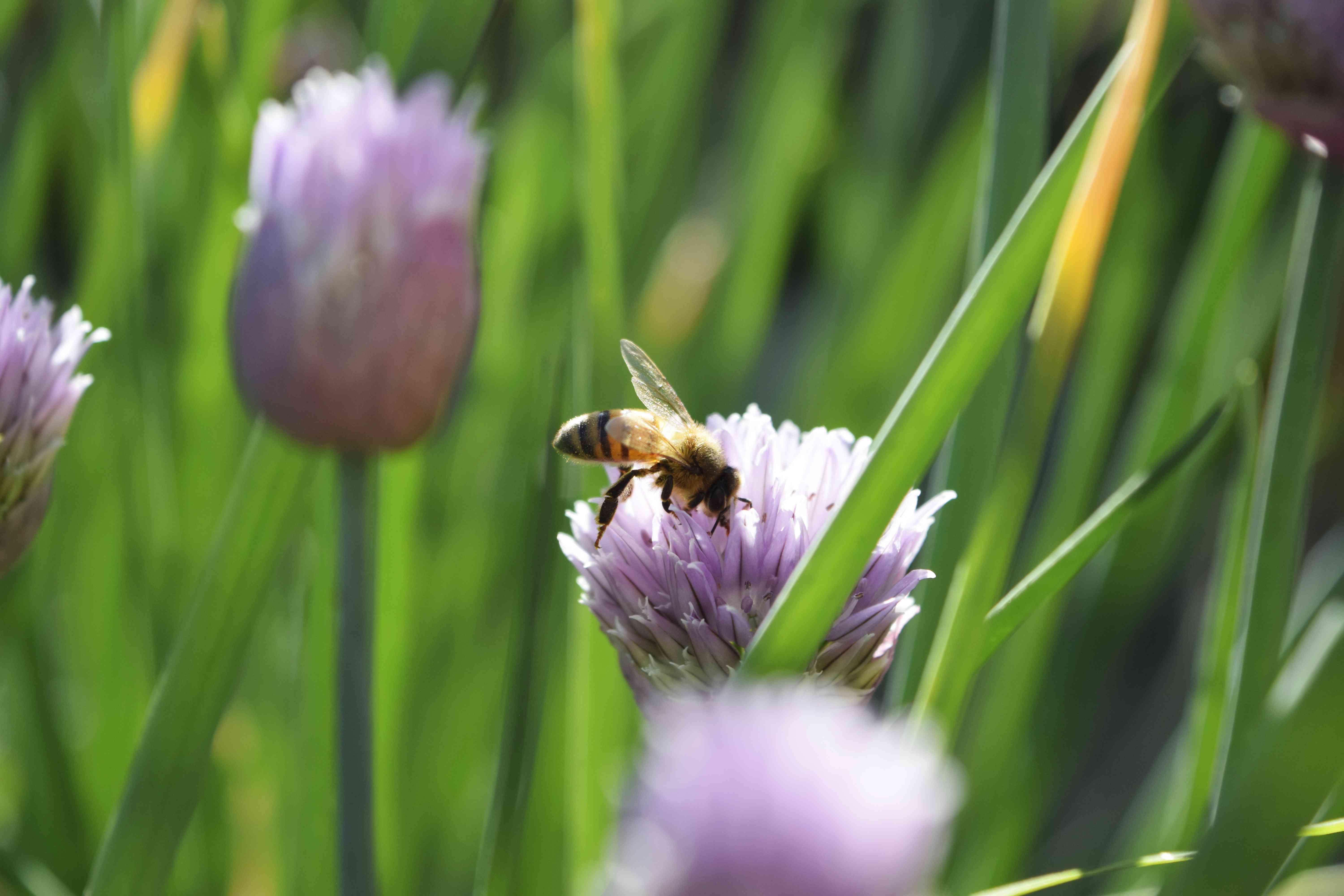 Bee resting on light purple flowers on chives plants closeup