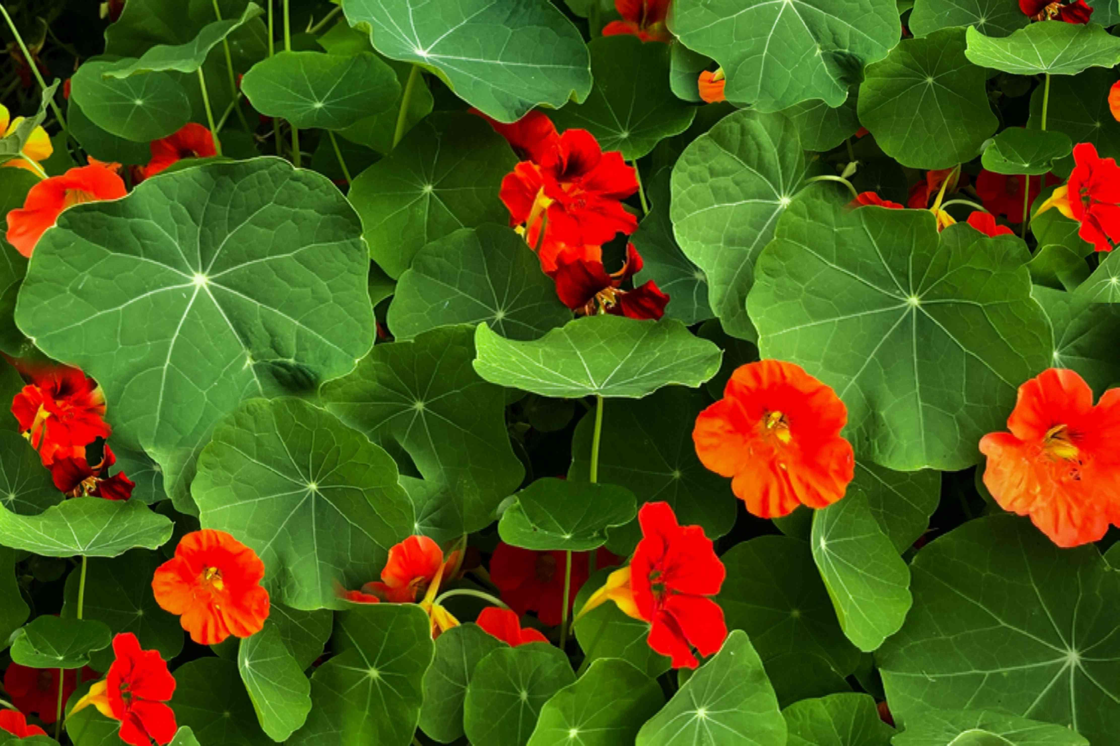 Red nasturtium flowers in between large green leaves
