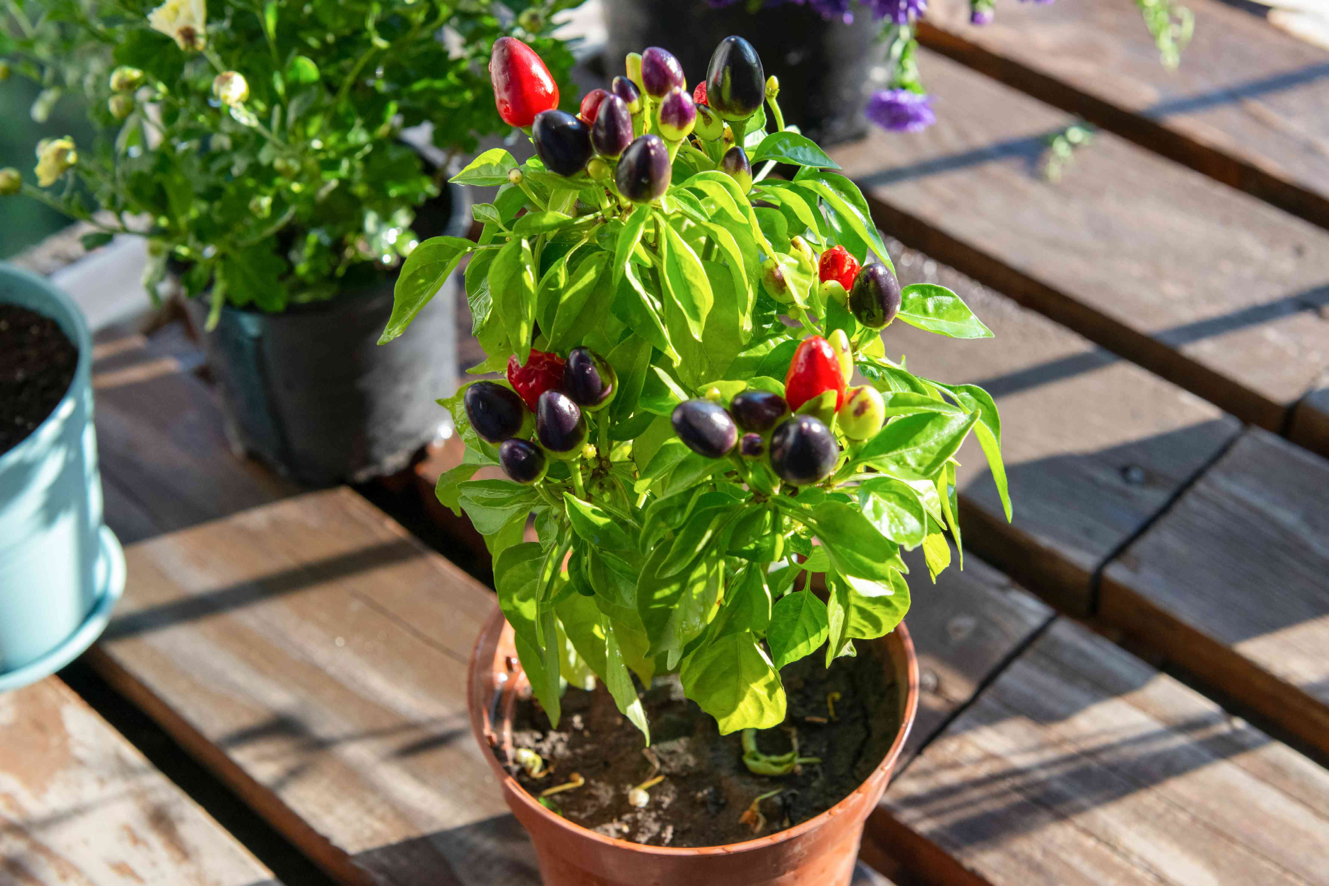 Small pot with black and red vegetables growing in sunny garden balcony