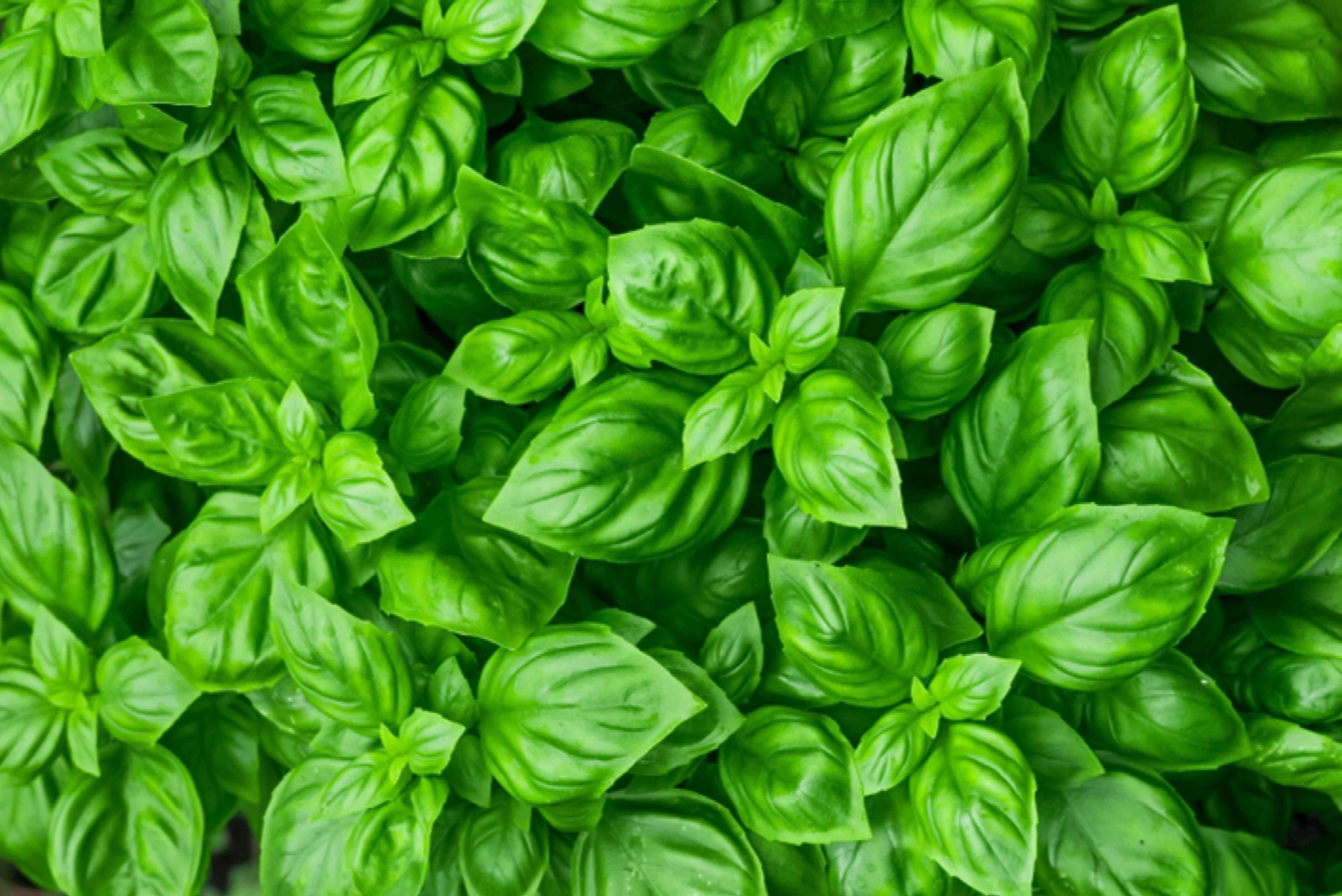 basil for aries