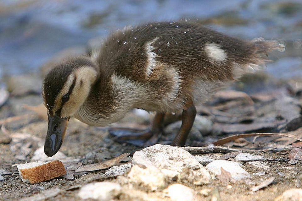 What Food Do Ducks And Geese Eat