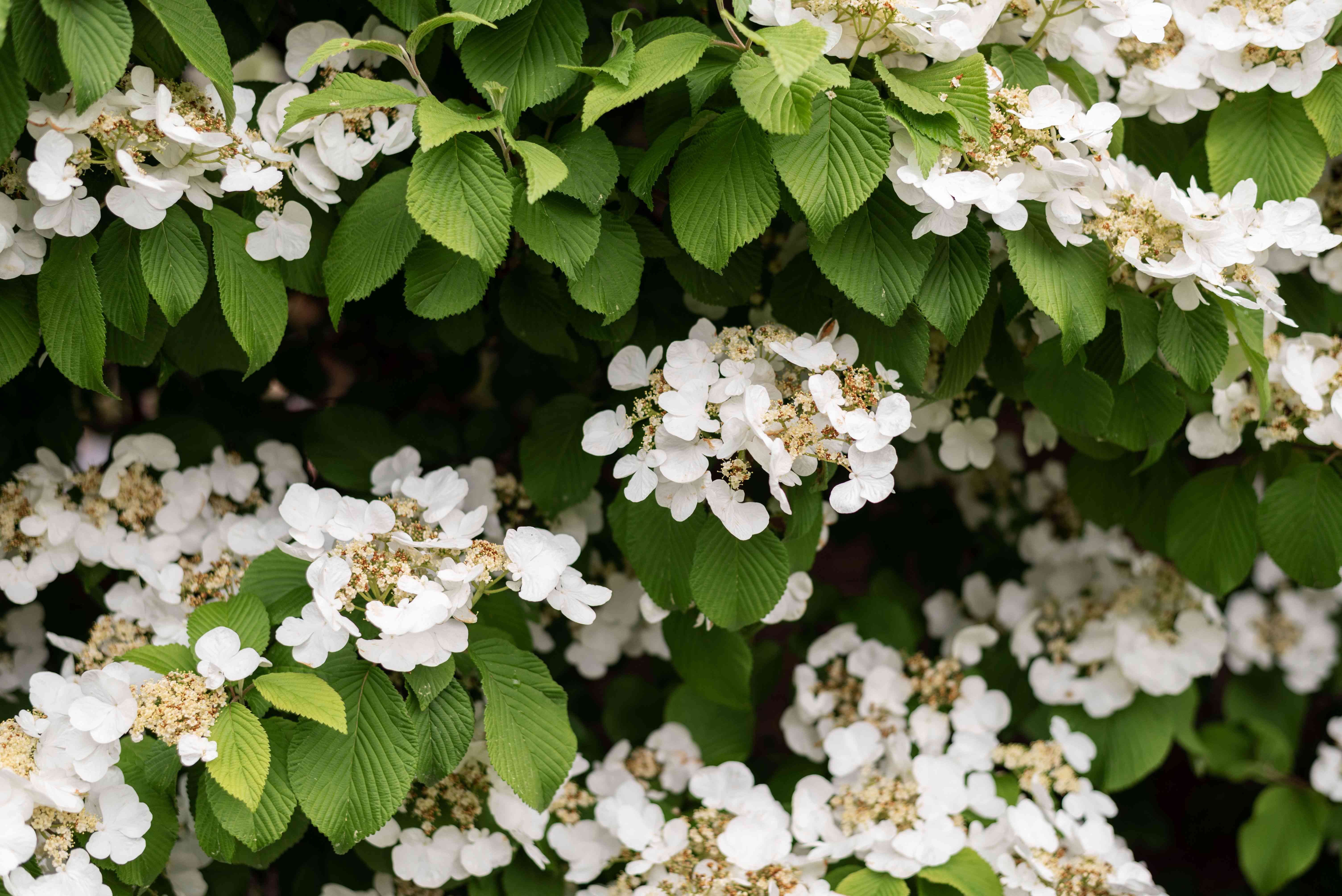 Climbing hydrangea vines with lacy white flower clusters in between ribbed leaves
